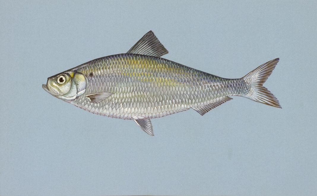Louisiana Fish Species La Fish Finder